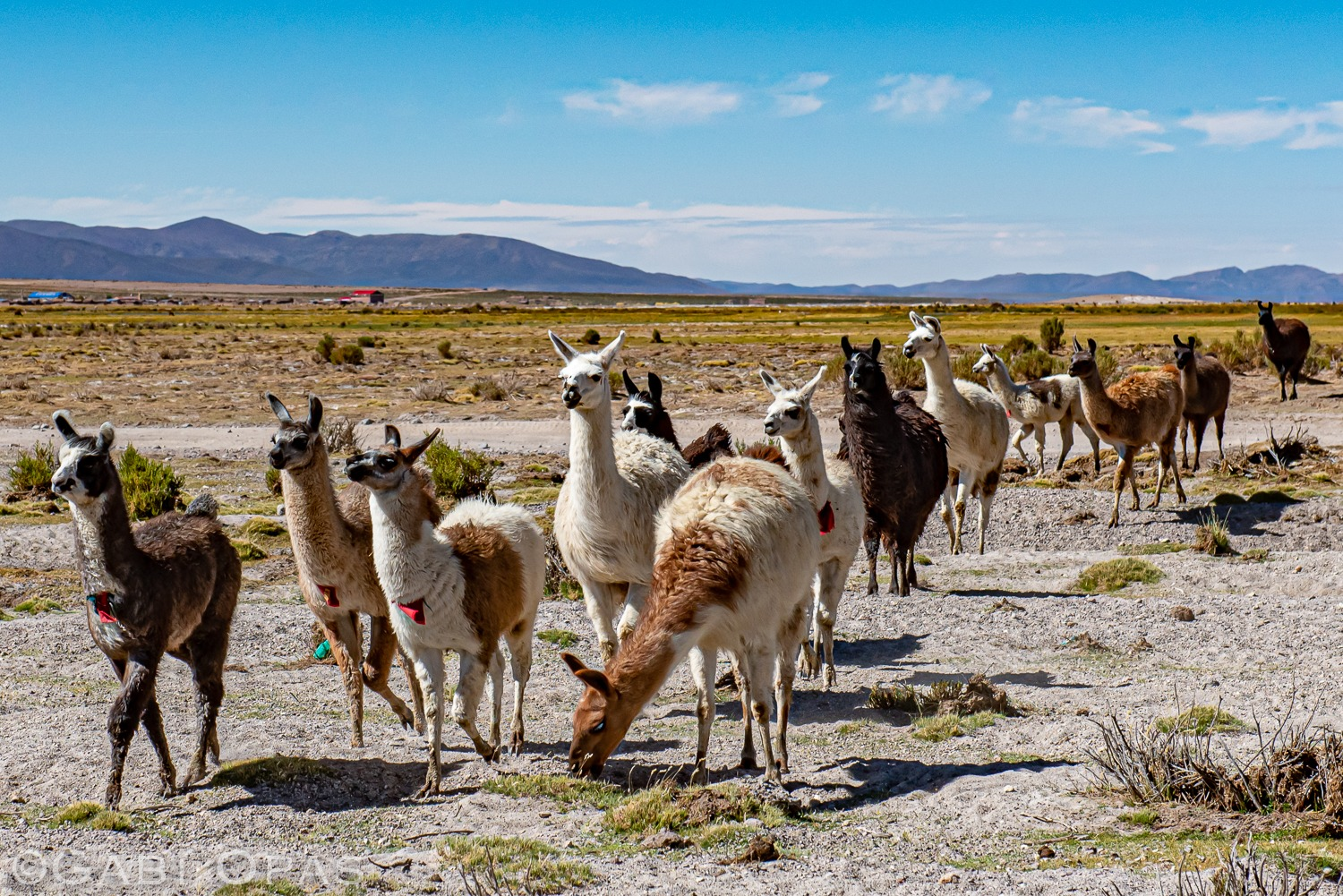 Alpacas walking in the mountains of Sajama Bolivia