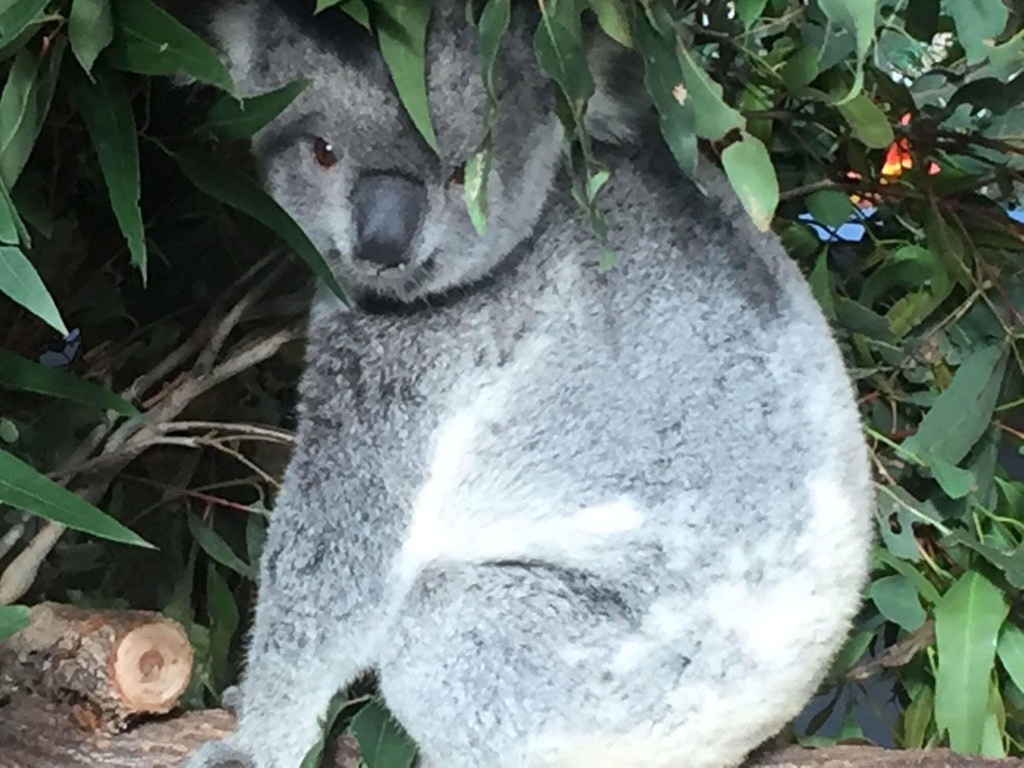 Colibri-Australia 2