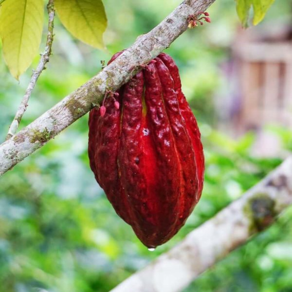cocoa plant in a tree