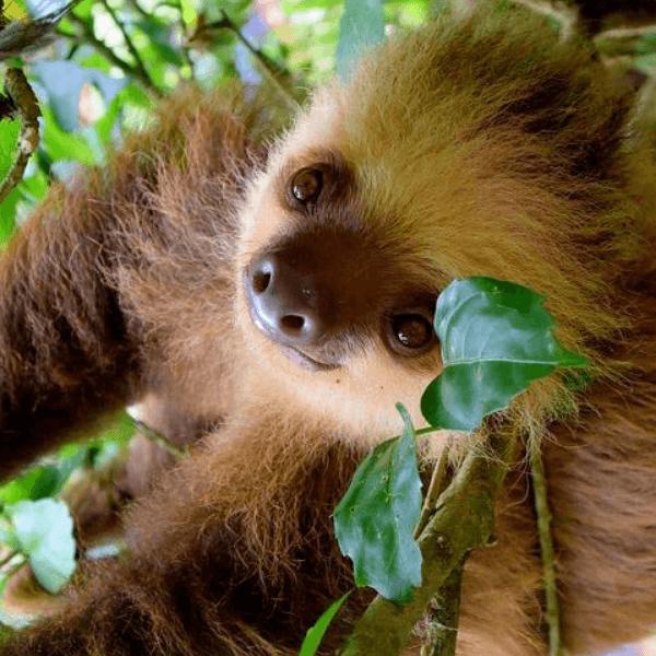 colibri-sloth