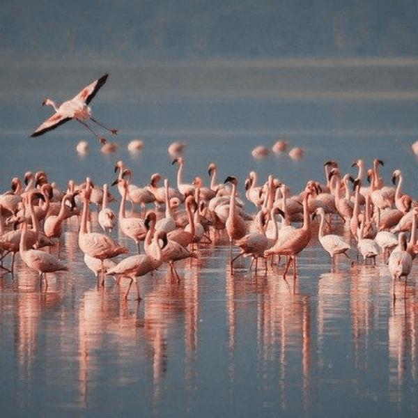 Colibri-Lake Victoria