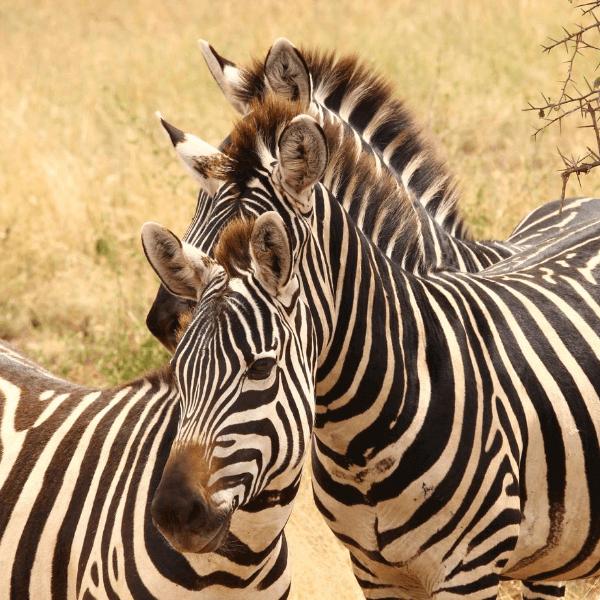 Colibri-Ngorongoro