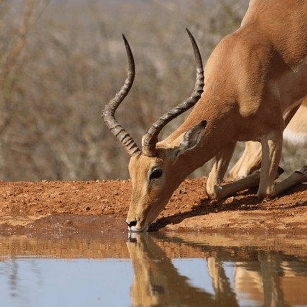 Colibri-Serengeti