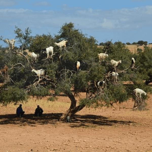 Colibri-Todra Gore
